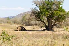 Άσπρος ύπνος ρινοκέρων κάτω από ένα δέντρο, Νότια Αφρική στοκ φωτογραφίες