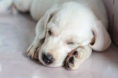 Άσπρος ύπνος σκυλιών Στοκ Φωτογραφίες