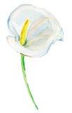 Άσπρος calla κρίνος που απομονώνεται σε ένα άσπρο υπόβαθρο υψηλό watercolor ποιοτικής ανίχνευσης ζωγραφικής διορθώσεων πλίθας pho Στοκ φωτογραφίες με δικαίωμα ελεύθερης χρήσης