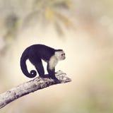 Άσπρος Capuchin Throated πίθηκος Στοκ εικόνα με δικαίωμα ελεύθερης χρήσης
