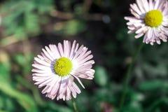 Άσπρος chamomile στοκ εικόνες με δικαίωμα ελεύθερης χρήσης