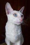 Άσπρος - Cornish γάτα Rex στο καφετί υπόβαθρο Στοκ Εικόνα