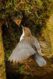 Άσπρος-Dipper, cinclus Cinclus, καφετί πουλί με τον άσπρο λαιμό στον ποταμό, καταρράκτης στο υπόβαθρο, ζωική συμπεριφορά μέσα στοκ εικόνα