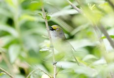 Άσπρος-eyed τραγούδι Songbird Vireo στο δέντρο αχλαδιών του Μπράντφορντ, Γεωργία ΗΠΑ στοκ εικόνα