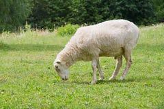 Άσπρος hornless κριός Στοκ Φωτογραφία