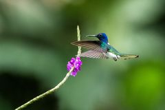 Άσπρος-necked jocobin να αιωρηθεί δίπλα στο ιώδες λουλούδι, πουλί κατά την πτήση, τροπικό δάσος, Βραζιλία, φυσικός βιότοπος στοκ εικόνα με δικαίωμα ελεύθερης χρήσης