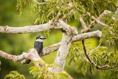 Άσπρος-necked puffbird Notharchus Hyperrhynchus Στοκ Εικόνα