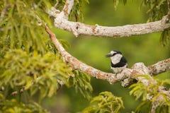 Άσπρος-necked puffbird Notharchus Hyperrhynchus Στοκ φωτογραφία με δικαίωμα ελεύθερης χρήσης
