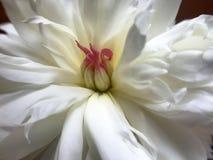 Άσπρος peony Στοκ Εικόνα
