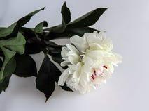 Άσπρος peony Στοκ φωτογραφία με δικαίωμα ελεύθερης χρήσης