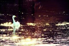 Άσπρος svan στο elliðarà ¡ Στοκ Φωτογραφία