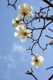 άσπρος yulan magnolia Στοκ Εικόνες