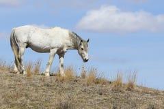 Άσπρο άγριο άλογο στο εθνικό πάρκο Roosevelt στοκ φωτογραφία με δικαίωμα ελεύθερης χρήσης