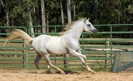 Άσπρο άγριο άλογο Στοκ Εικόνες