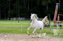 Άσπρο άγριο άλογο Στοκ φωτογραφία με δικαίωμα ελεύθερης χρήσης