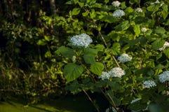 Άσπρο άγριο λουλούδι με τα φύλλα στοκ φωτογραφίες με δικαίωμα ελεύθερης χρήσης