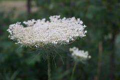 άσπρο άγριο λουλούδι επάνω κοντά στα illinios Στοκ φωτογραφία με δικαίωμα ελεύθερης χρήσης