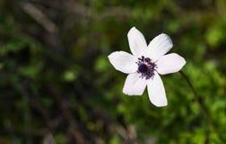 Άσπρο άγριο λουλούδι coronaria anemone Στοκ Εικόνα