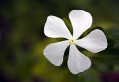 Άσπρο άγριο λουλούδι Plumbago Στοκ Φωτογραφία