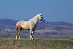 Άσπρο άγριο στήριγμα στο λιβάδι στοκ φωτογραφίες