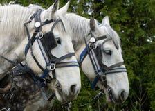 Άσπρο άλογο αρότρων Στοκ φωτογραφία με δικαίωμα ελεύθερης χρήσης