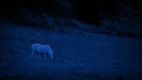 Άσπρο άλογο που βόσκει τη νύχτα απόθεμα βίντεο