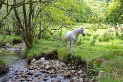Άσπρο άλογο που μένει κοντά στο ρεύμα στη σκωτσέζικη επαρχία Στοκ εικόνες με δικαίωμα ελεύθερης χρήσης