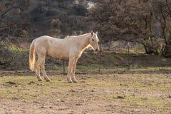 Άσπρο άλογο που στέκεται σε έναν τομέα Στοκ Εικόνα
