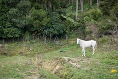 Άσπρο άλογο στη Νέα Ζηλανδία στοκ φωτογραφία