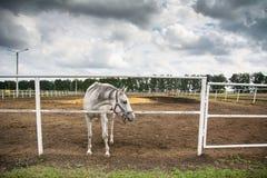 Άσπρο άλογο στον ιππόδρομο Στοκ Εικόνες