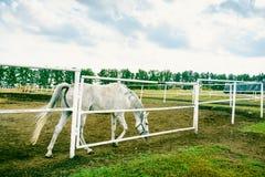 Άσπρο άλογο στον ιππόδρομο Στοκ Φωτογραφίες