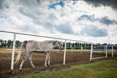 Άσπρο άλογο στον ιππόδρομο Στοκ εικόνα με δικαίωμα ελεύθερης χρήσης