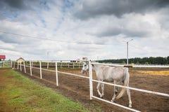 Άσπρο άλογο στον ιππόδρομο Στοκ φωτογραφία με δικαίωμα ελεύθερης χρήσης