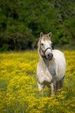 Άσπρο άλογο στον τομέα λουλουδιών Στοκ Φωτογραφίες