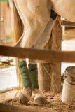 Άσπρο άλογο στο σταύλο στοκ εικόνα με δικαίωμα ελεύθερης χρήσης