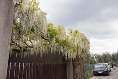 Άσπρο άνθισμα ακακιών Άφθονος ανθίζοντας κλάδος ακακιών στον κήπο στοκ φωτογραφία