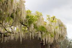Άσπρο άνθισμα ακακιών Άφθονος ανθίζοντας κλάδος ακακιών στον κήπο στοκ εικόνες με δικαίωμα ελεύθερης χρήσης
