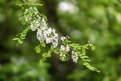 Άσπρο άνθισμα ακακιών Pseudoacacia Robinia, ψεύτικη ακακία, μαύρη ακρίδα, θερινό υπόβαθρο με τη θέση για το κείμενό σας στοκ εικόνα