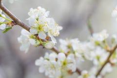 Άσπρο άνθος άνοιξη δέντρων της Apple Στοκ φωτογραφία με δικαίωμα ελεύθερης χρήσης