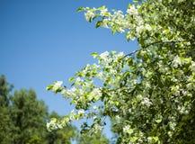 Άσπρο άνθος άνοιξη ενάντια στο μπλε ουρανό Στοκ Εικόνες