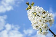 Άσπρο άνθος άνοιξη του δέντρου κερασιών ενάντια στο μπλε Στοκ Φωτογραφίες