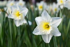 Άσπρο άνθος άνοιξη Daffodil Στοκ Εικόνα