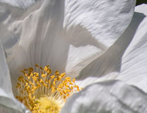 Άσπρο άνθος καμελιών Στοκ εικόνα με δικαίωμα ελεύθερης χρήσης