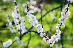 Άσπρο άνθος κερασιών Στοκ εικόνες με δικαίωμα ελεύθερης χρήσης