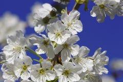 Άσπρο άνθος κερασιών Στοκ φωτογραφίες με δικαίωμα ελεύθερης χρήσης