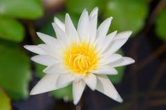 Άσπρο άνθος λωτού στοκ φωτογραφία με δικαίωμα ελεύθερης χρήσης