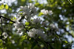 Άσπρο άνθος μήλων στο πράσινο υπόβαθρο φύλλων Στοκ φωτογραφίες με δικαίωμα ελεύθερης χρήσης