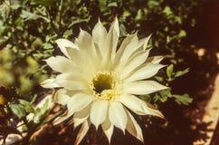 Άσπρο άνθος λουλουδιών κινηματογραφήσεων σε πρώτο πλάνο Στοκ εικόνα με δικαίωμα ελεύθερης χρήσης
