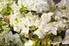 Άσπρο άνθος λουλουδιών Bougainvillea στην Ασία Στοκ Φωτογραφίες