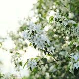 Άσπρο άνθος της Apple Στοκ Εικόνες